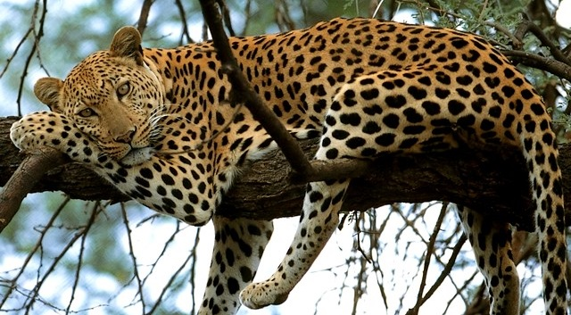 Leopard-in-Samburu-National-Reserve-Kenya-Africa